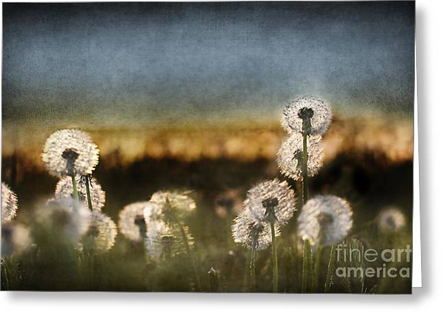 Dandelion Dusk Greeting Card by Cindy Singleton