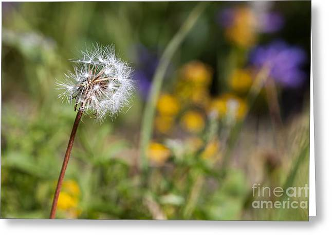 Dandelion In Meadow Greeting Card by Cindy Singleton