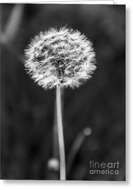 Dandelion In The Sun Greeting Card