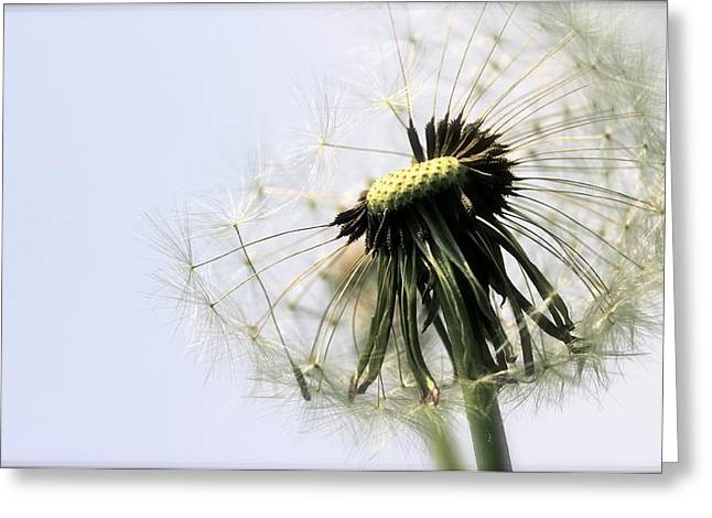 Dandelion Puff Greeting Card by Tracy Male