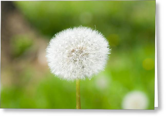 Dandelion Puffball Greeting Card