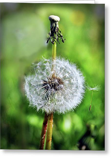 Dandelion Released Greeting Card