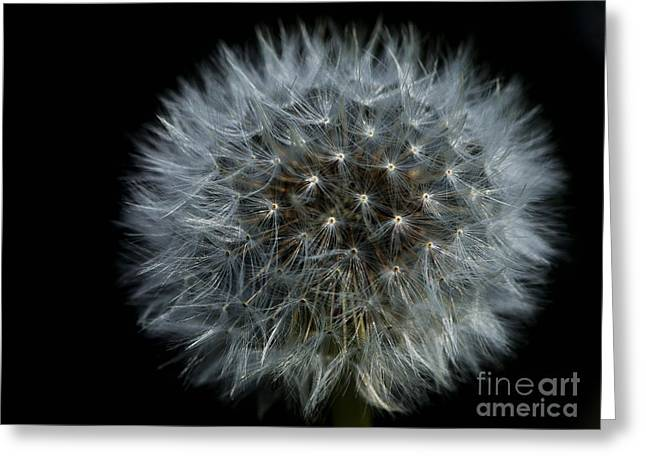 Dandelion Seed Head On Black Greeting Card by Sharon Talson