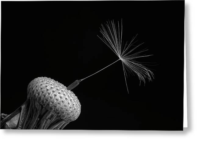 Dandelion Seed  Waterloo, Quebec, Canada Greeting Card by David Chapman