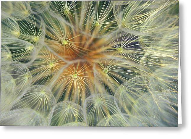 Dandelion Seedhead Close-up Greeting Card by Jaynes Gallery