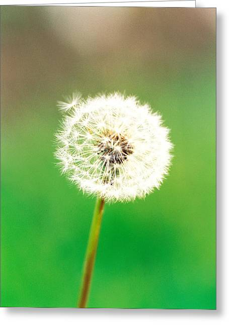 Dandelion Seeds, Close-up View Greeting Card