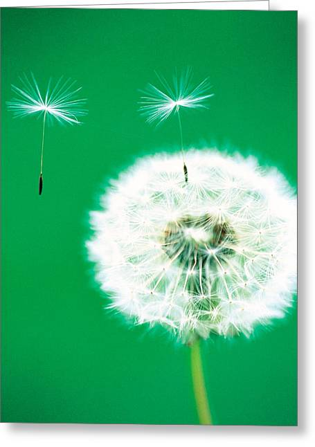 Dandelion Seeds Flying, Close-up View Greeting Card