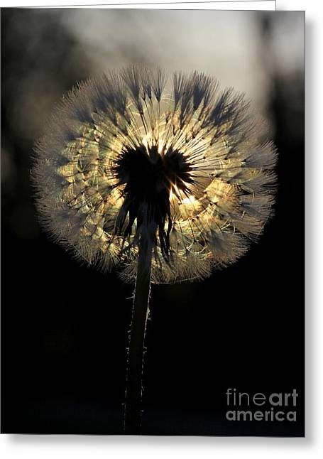 Dandelion Sunrise - 1 Greeting Card