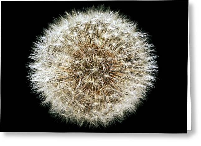 Dandelion (taraxacum Officinale) Seedhead Greeting Card