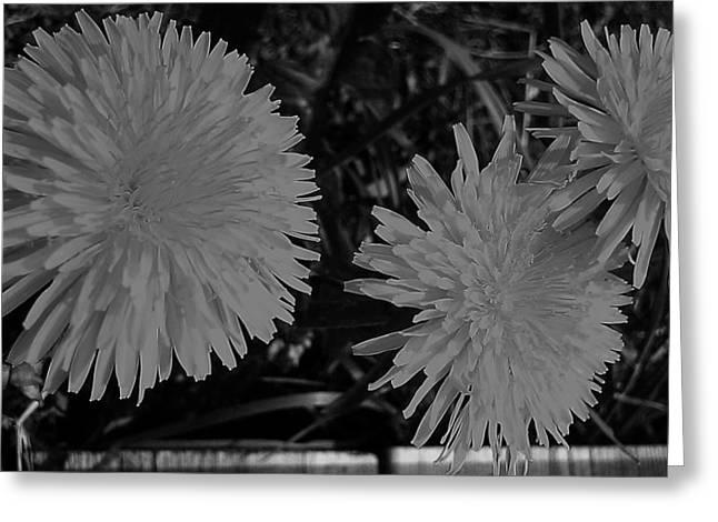Dandelion Weeds? B/w Greeting Card by Martin Howard