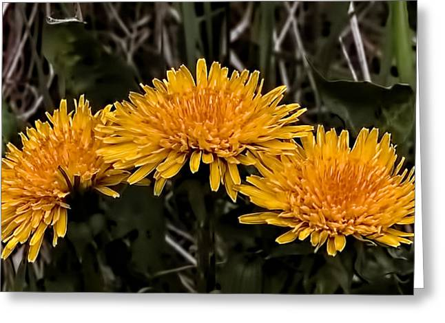 Dandelions In Group  By Leif Sohlman Greeting Card by Leif Sohlman