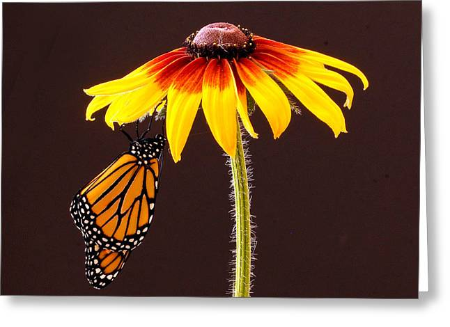 Dangling Monarch Greeting Card by Jean Noren