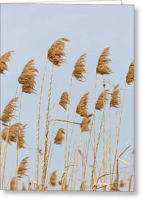 Danube Delta, Reed From Last Year Greeting Card by Martin Zwick
