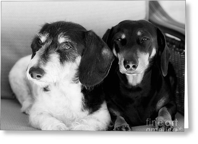 Dapper Doxies Greeting Card