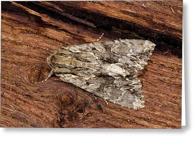 Dark Arches Moth Greeting Card by Nigel Downer