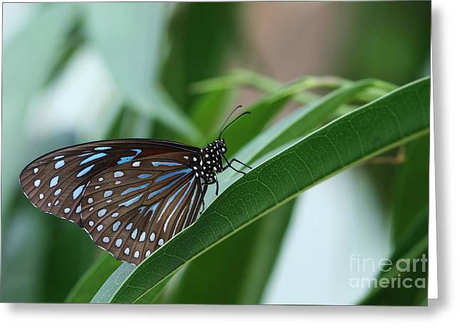 Dark Blue Tiger Butterfly #2 Greeting Card by Judy Whitton