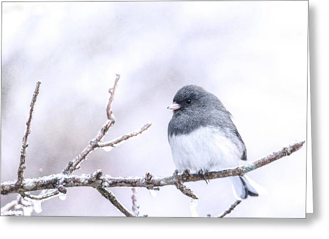 Dark Eyed Junco Greeting Card by Jon Woodhams