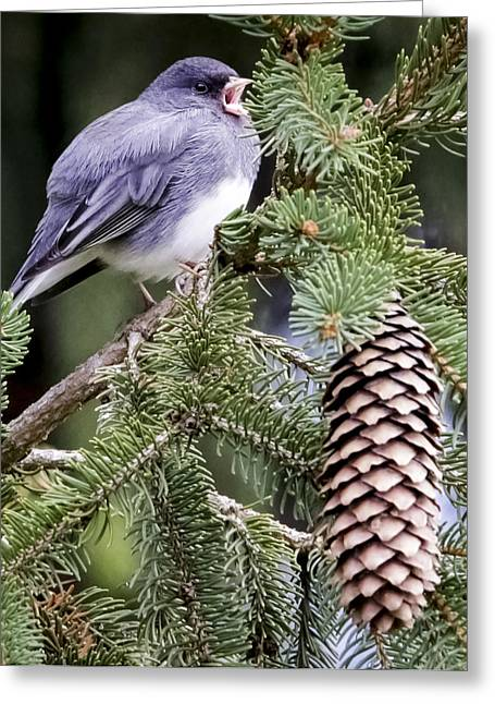 Dark-eyed Junco Speaks Out Greeting Card