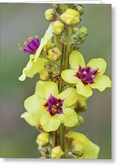 Dark Mullein (verbascum Nigrum) Flowers Greeting Card