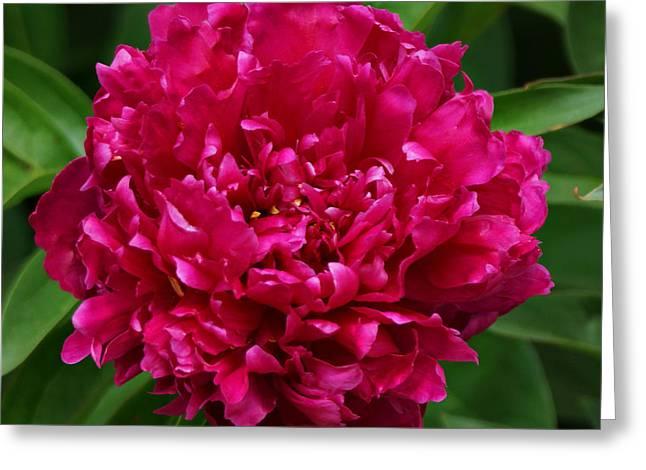 Dark Pink Peony II Greeting Card by Sandy Keeton