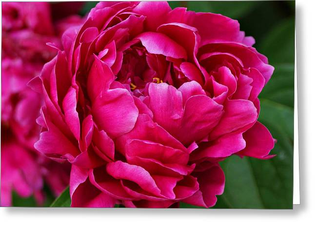 Dark Pink Peony Greeting Card