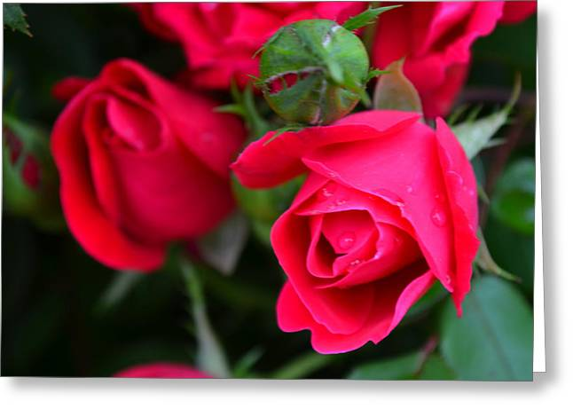 Dark Pink Roses #1 Greeting Card