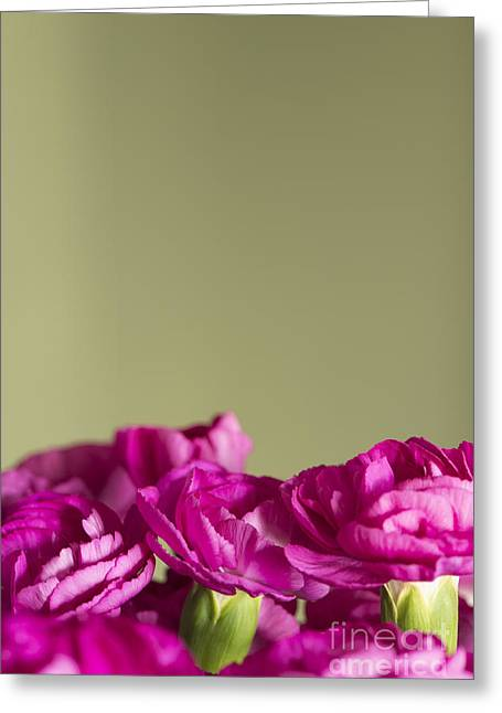 Darling Dianthus Greeting Card by Anne Gilbert