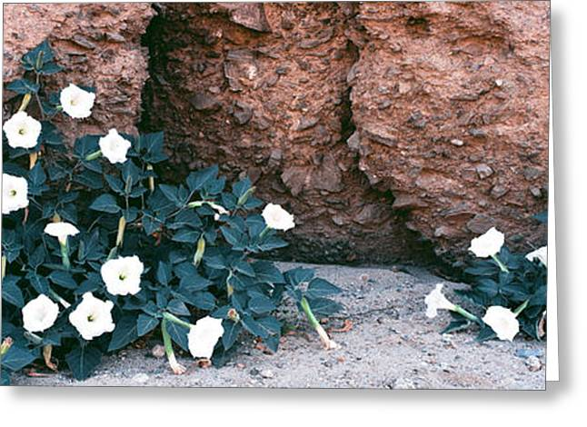 Darura Blooms After Spring Rains In Box Greeting Card by Panoramic Images