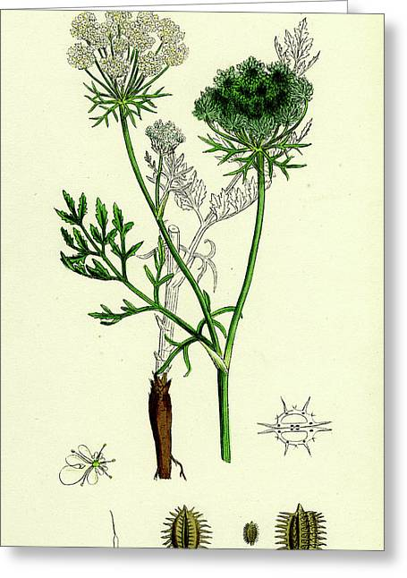 Daucus Carota Wild Carrot Greeting Card by English School
