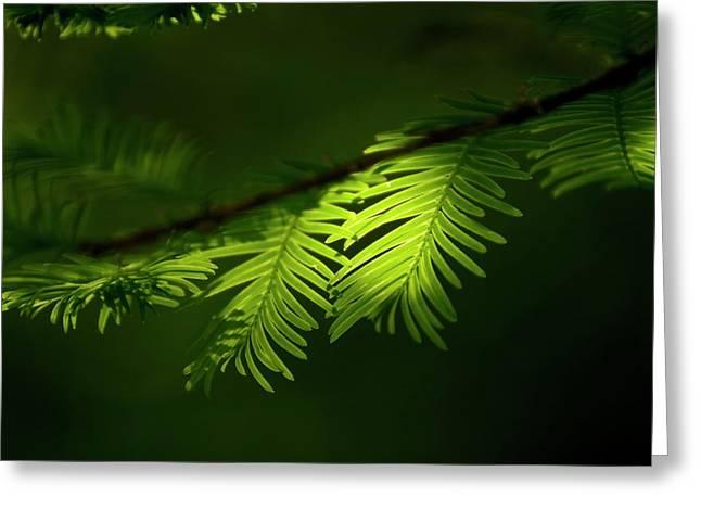 Dawn Redwood Foliage Greeting Card