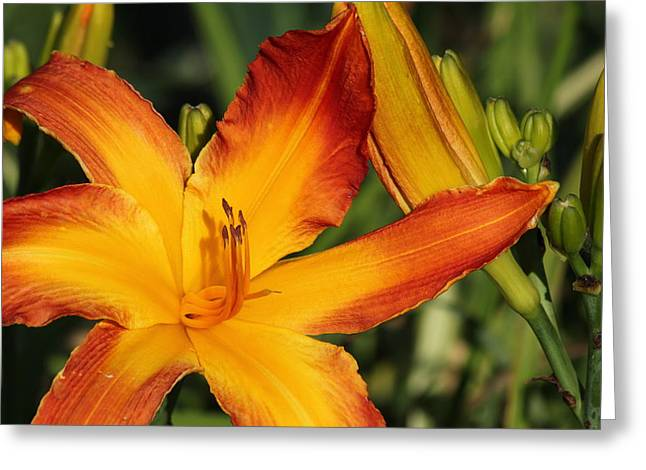 Day Lily Greeting Card by James Hammen