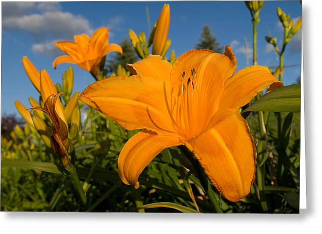 Day Lily Time Greeting Card