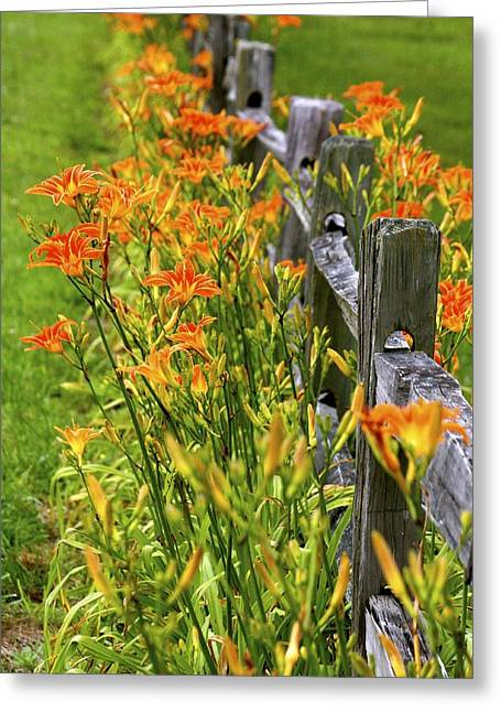 Daylilies Along Fence Greeting Card
