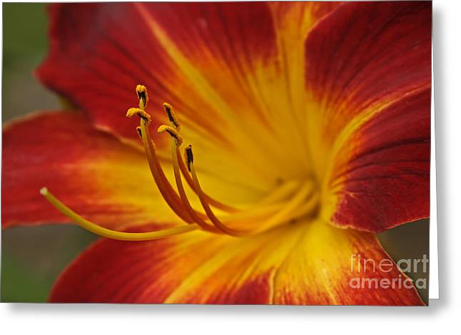 Daylily Close Up II Greeting Card