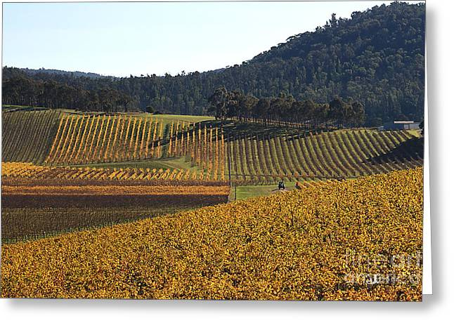 golden vines-Victoria-Australia Greeting Card by Joy Watson