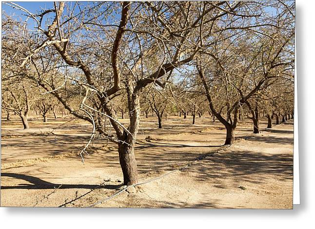 Dead And Dying Almond Trees Greeting Card