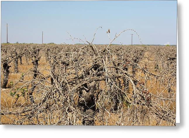 Dead And Dying Grape Vines Greeting Card by Ashley Cooper