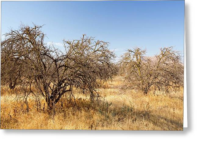 Dead And Dying Orange Trees Greeting Card by Ashley Cooper