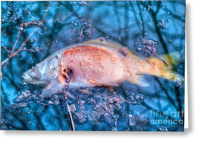 Dead Carp Decays On Surface Of Polluted Water Greeting Card by Stephan Pietzko