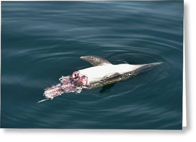 Dead Dolphin Greeting Card by Christopher Swann