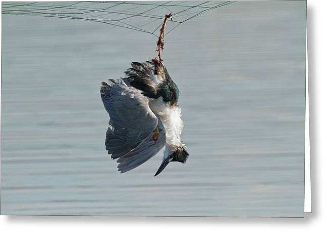 Dead Heron Caught In Net Greeting Card by Photostock-israel