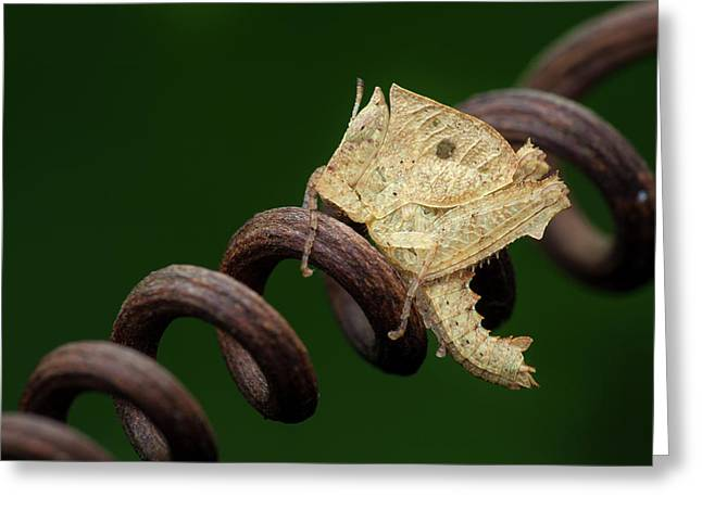 Dead Leaf Grasshopper Nymph Greeting Card by Melvyn Yeo