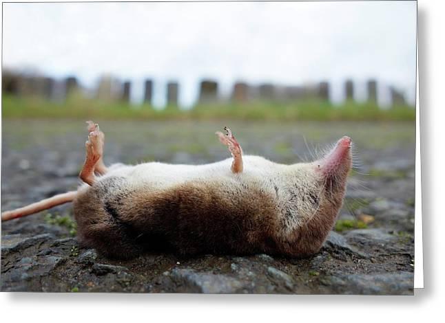 Dead Shrew Greeting Card by Cordelia Molloy