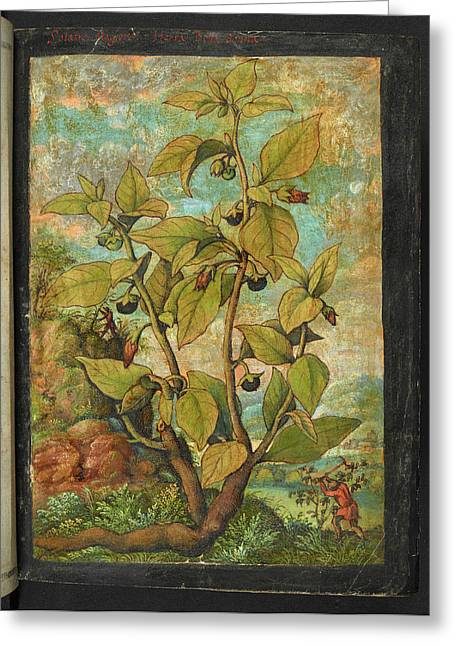 Deadly Nightshade Greeting Card by British Library