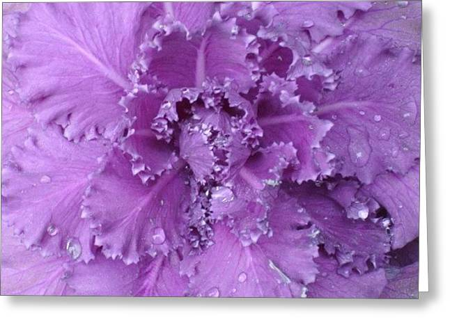 #decorative #cabbage #plant After A Greeting Card by Stacey Lewis