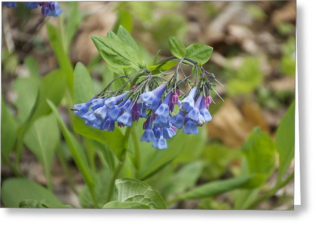 Deep Blue Wild Flowers At Mt Cuba Greeting Card by Mark Holden
