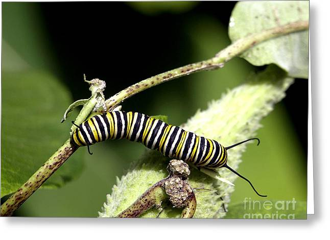 Deep In The Green - A Caterpillars Life Greeting Card