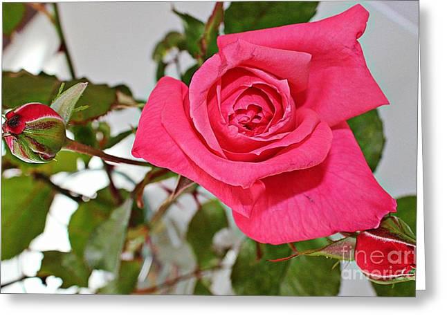 Deep Pink Rose - Summer - Rosebuds Greeting Card by Barbara Griffin
