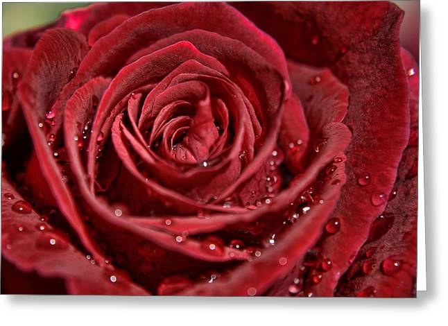 Deep Red Rose Greeting Card