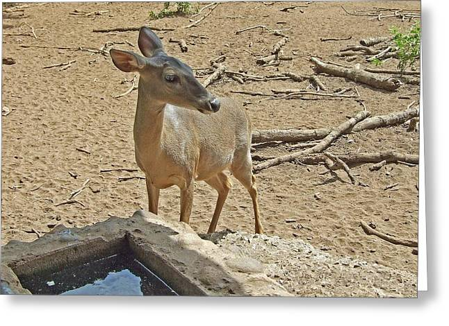 Deer At Waterhole Greeting Card by Judith Russell-Tooth